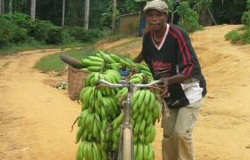Mann transportiert Bananenstauden auf einem Fahrrad