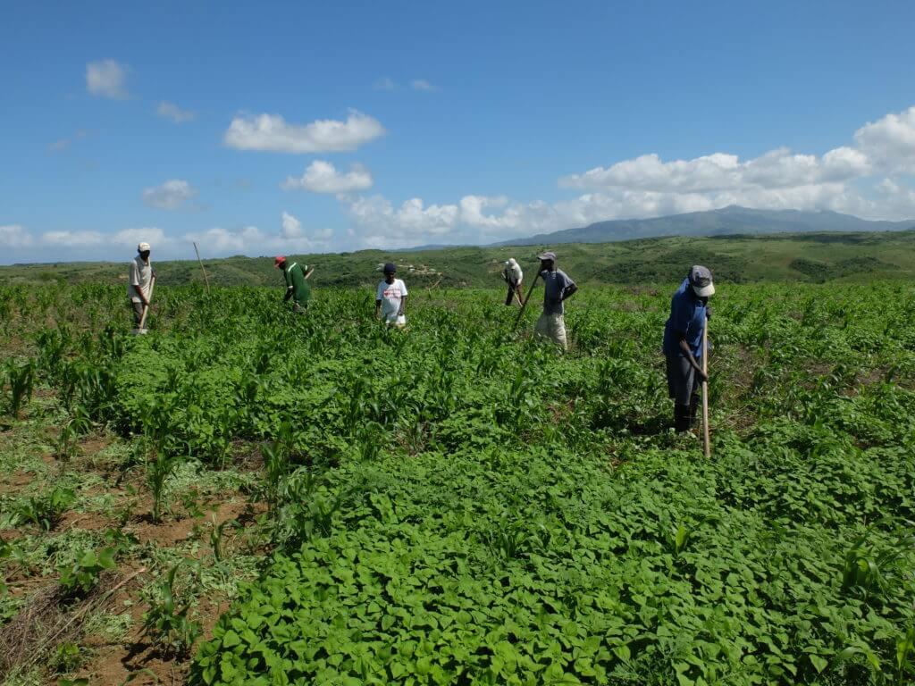 Die Mitglieder von unserer haitianischen Partnerorganisation jäten ein Gemeinschaftsfeld.