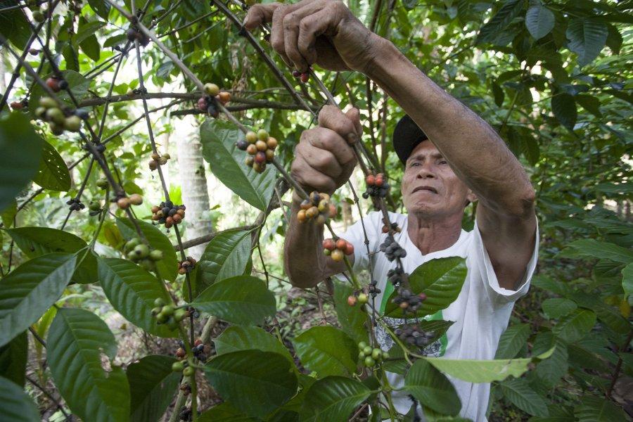 Bei agrarökologischen Anbaumethoden werden u. a. Pflanzenarten so kombiniert, dass sie sich gegenseitig unterstützen. Die Palmen im Hintergrund bieten ein perfekt schattiges Klima für die Kaffeebohnen, die dieser Bauer begutachtet.