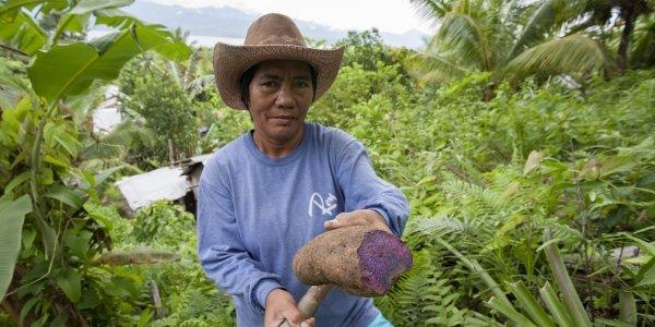 """Philippinen APECO: Casiguran Women. Die Kleinbäuerin Salvadora erntet Ube, eine Art Yamswurzel oder auf Englich """"purpel yam."""
