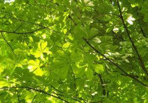 Blätterdach unter dem Kastanienbaum Klima