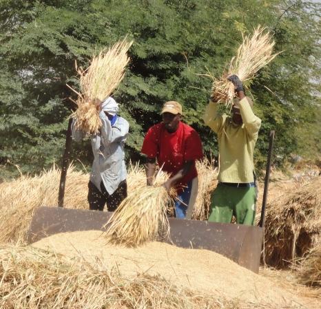 BAMTAARE, Männer dreschen Getreide
