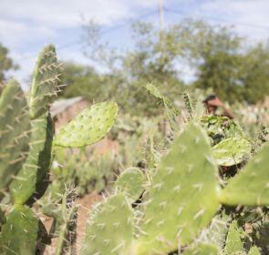 Bei Hungerkrisen, werden im Süden Madagaskars Feigenkakteen an die Zeburinder verfüttert.